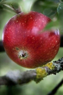 Aqua_Vitae_SMAG_æble_Filippa